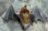 Alert: Rabid Bat Found In Elm Grove Subdivision In Buda
