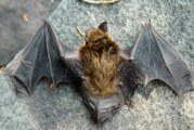 Rabid Bat Confirmed In The Wimberley Area